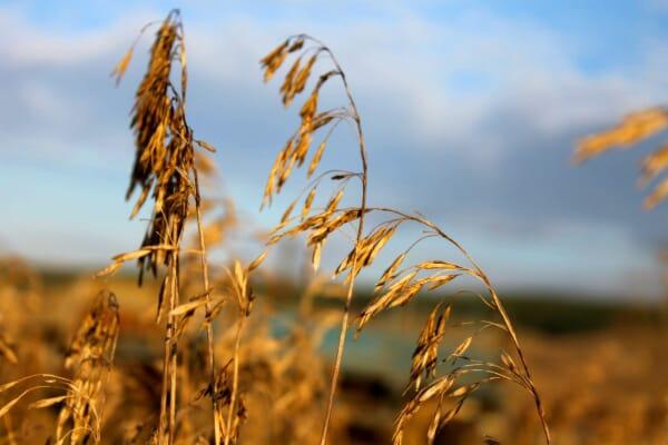 Seeds on golden grain