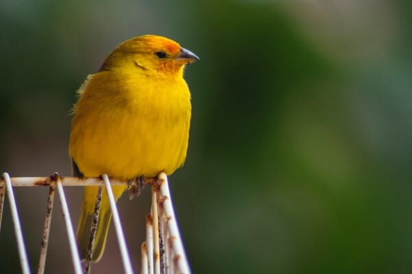 Yellow bird looking into distance